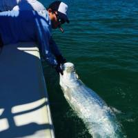 Tarpon landed off the beaches of Palm Island