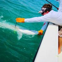 Giant tarpon broke the rod during the battle! Capt Rich releasing her healthy in Boca Grande