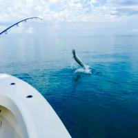 A hooked tarpon trying to shake off the hook