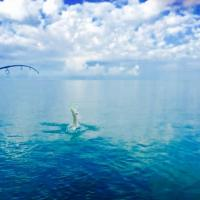 Tarpon giving one last effort before the captain lands him boatside off Anna Maria