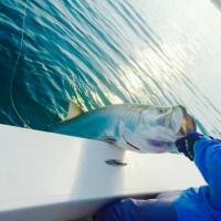 Capt Rich Andretta landing a beautiful tarpon boat side off  Egmont Key