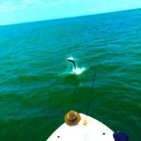 Silver King tarpon jumping on a Tampa Bay fishing Charter along St Pete Beach