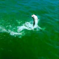 Silver king tarpon tail walking across the water of Tampa Bay during this fishing charter