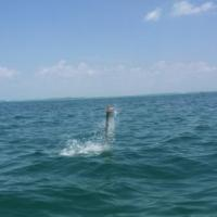 A tarpon getting airbourne on a tarpon fishing charter with Capt Rich Andretta in Tampa Bay